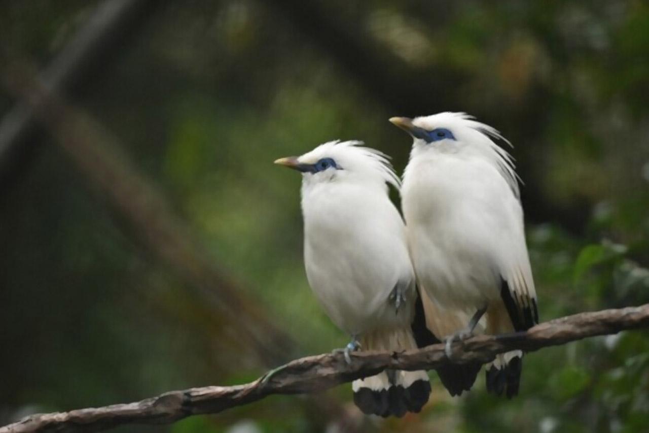 Jalak Bali, Burung Cantik Dari Pulau Dewata